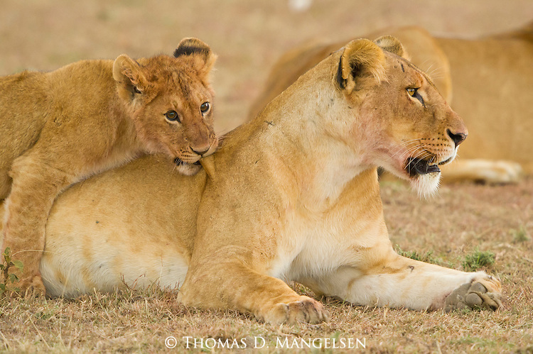 A lion cub plays on its mother while she rests on the Masai Mara plain in Kenya.