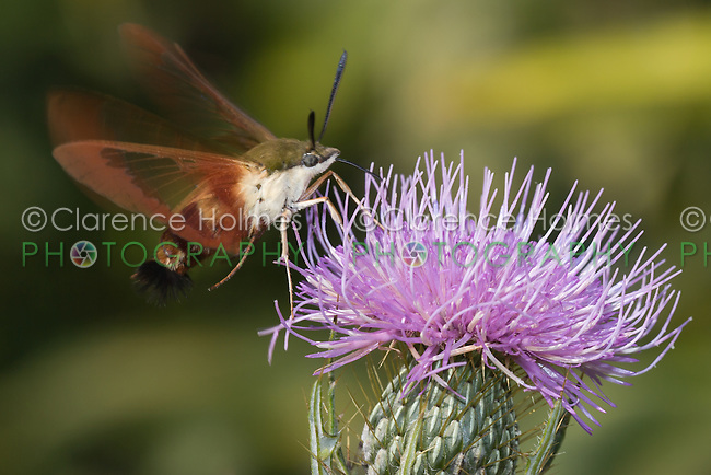 Hummingbird Clearwing Moth (Hemaris thysbe) hovering over a thistle plant,  Ward Pound Ridge Reservation, Cross River, Westchester County, New York