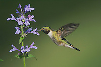 Broad-tailed Hummingbird, Selasphorus platycercus,male in flight feeding on Siberian Catmint flower(Nepeta sibirica),Rocky Mountain National Park, Colorado, USA, June 2007