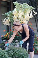 NWA Democrat-Gazette/DAVID GOTTSCHALK  Elaine Blowers, a Washington County Master Gardener and co-chairperson of the Extension Office sanctioned project, works on the project Wednesday, September 16, 2015 in front of Brugmansia and Lantana plants at the Washington County Cooperative Extension Service in Fayetteville. The project that includes islands, flowerbeds and an herb garden around the facility has been nominated for project of the year by the Master Gardener State Organization.