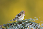 Common redpoll perched on a frosty red pine tree in northern Wisconsin.