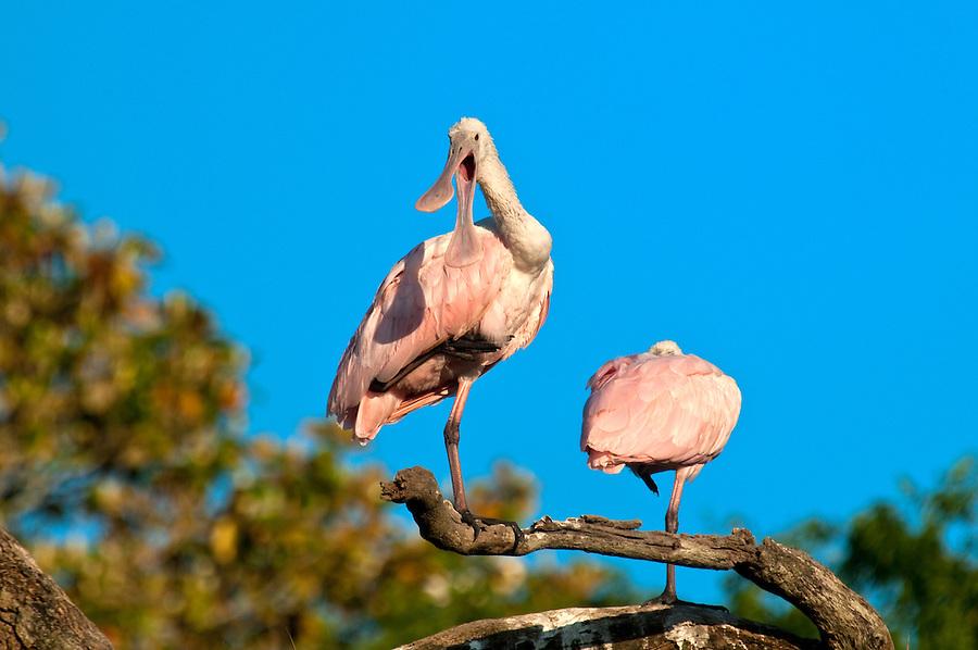 Roseate Spoonbill perched in a tree in florida against blue sky. Scientific name Platalea ajaja.