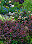 Vashon-Maury Island, WA<br /> Driscoll garden, rock wall supports mounded collection of barberry, lithodora, hydrangea, saxifrage and rose