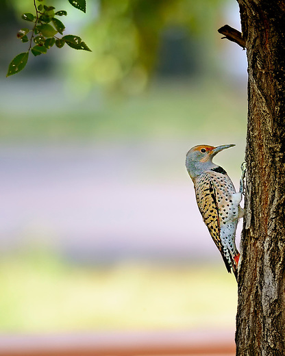 Red-shafted Northern Flicker in Cherry Creek State Park, Denver, Colorado