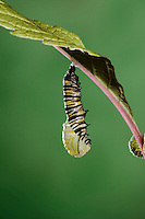 MONARCH BUTTERFLY life cycle..Pupation on Joe-Pye leaf. .North America. Danaus plexippus.