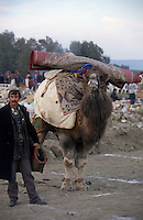Selcuk, Turkey, 21/01/01..The traditional sport of camel wrestling is popular throughout western Turkey in the winter months; the largest event is the annual festival held in Selcuk on the third weekend of January. Victorious owners lead their camels home with carpets they have won on the animal's back.