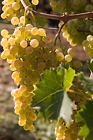 Italien, Umbrien, Weinbau in Umbrien: Weintrauben Italy, Umbria, wine growing in Umbria: grapes