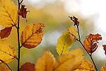 Europa, DEU, Deutschland, Hessen, Nordhessen, Weserbergland, Beberbeck, Herbst, Reinhardswald, Urwald Sababurg; Buchenblaetter, Kategorien und Themen, Natur, Umwelt, Landschaft, Jahreszeiten, Stimmungen, Landschaftsfotografie, Landschaften, Landschaftsphoto, Landschaftsphotographie, Naturschutz, Naturschutzgebiete, Landschaftsschutz, Biotop, Biotope, Landschaftsschutzgebiete, Landschaftsschutzgebiet, Oekologie, Oekologisch, Typisch, Landschaftstypisch, Landschaftspflege....[Fuer die Nutzung gelten die jeweils gueltigen Allgemeinen Liefer-und Geschaeftsbedingungen. Nutzung nur gegen Verwendungsmeldung und Nachweis. Download der AGB unter http://www.image-box.com oder werden auf Anfrage zugesendet. Freigabe ist vorher erforderlich. Jede Nutzung des Fotos ist honorarpflichtig gemaess derzeit gueltiger MFM Liste - Kontakt, Uwe Schmid-Fotografie, Duisburg, Tel. (+49).2065.677997, fotofinder@image-box.com, www.image-box.com]