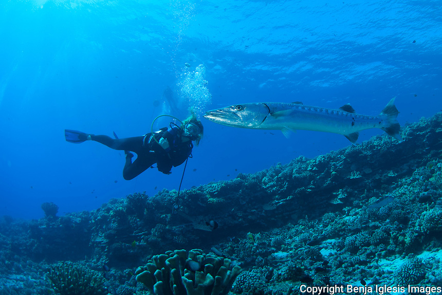 Diver in front of great barracuda molokini reefs end maui Hawaii.