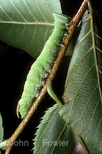 Close up of larva of Sphinx moth, showing feet, breathing spiracles, body, legs, prolegs