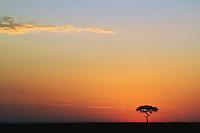 Silhouetted single Acacia tree at sunrise, Masai Mara, Kenya, Africa