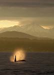 Endangered Orca whale, Orcinus orca, Off Seattle, facing Manchester, Puget Sound, Salish Sea, Olympic Mountains, Mount Washington, winter sunset, Pacific Northwest, Washington State, United States,.