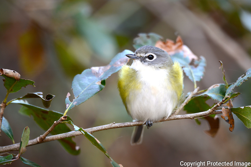 Blue Headed Vireo. Photographed late afternoon at Green Cay Wetlands, Boynton Beach, Florida.