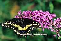 03009-01406 Black Swallowtail (Papilio polyxenes) male on Butterfly Bush (Buddleia davidii) Marion Co. IL
