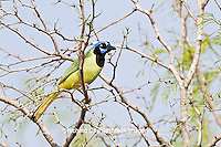 01291-00608 Green Jay (Cyanocorax yncas) in tree Starr Co., TX