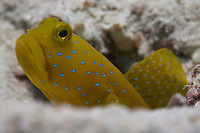 A yellow shrimp goby (Cryptocentrus cinctus) peering out from its hole, Koh Tao, Gulf of Thailand, Thailand,
