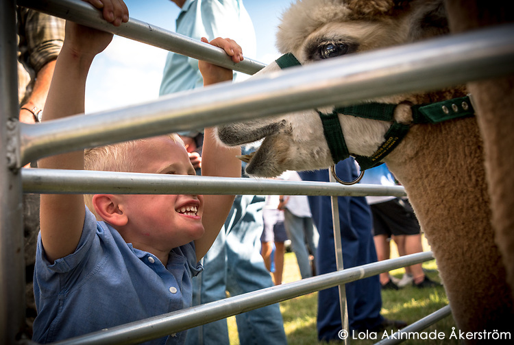 A young visitor plays with an alpaca.