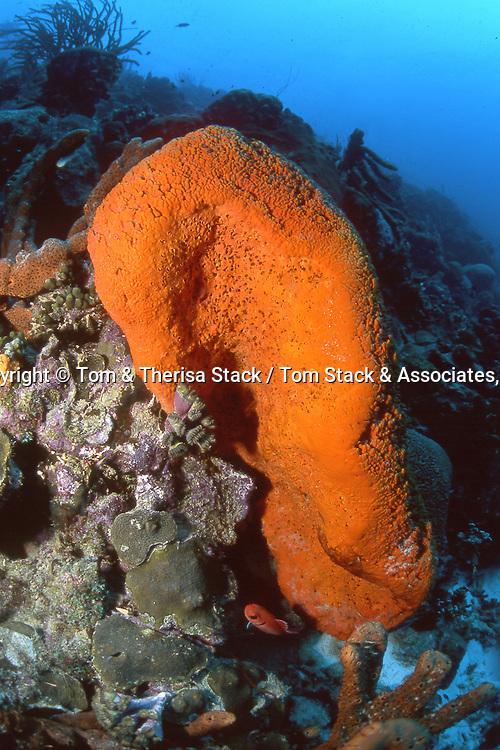 Orange Elephant Ear Sponge..Agelas clathrodes..Bonaire, Dutch Antilles