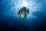 Platax teira, also known as the teira batfish, longfin batfish, longfin spadefish, or round faced batfish