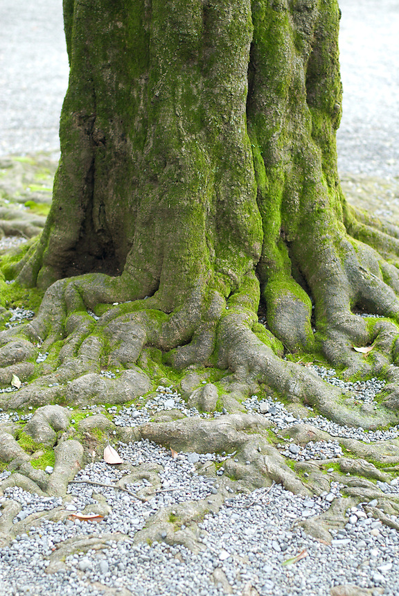 Detail of the mossy trunk and tangled roots of a tree at the Meji Jingu Shrine, Tokyo, Japan. September 21 2008