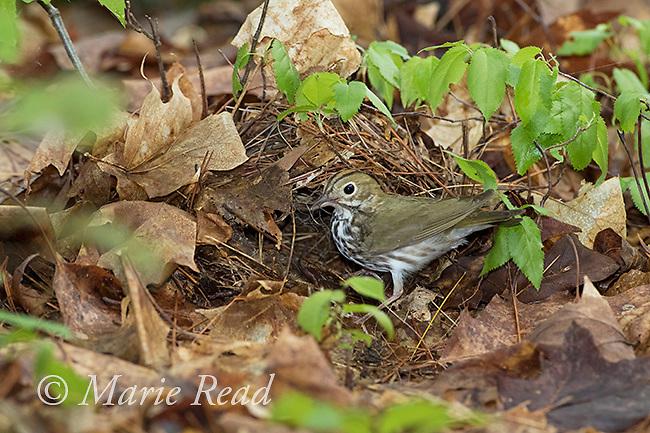 Ovenbird (Seiurus aurocapillus) bringing nest material to its nest on the forest floor, Ithaca, NY, USA