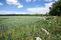 Winter wheat field in ear with field margin - Lincolnshire, June