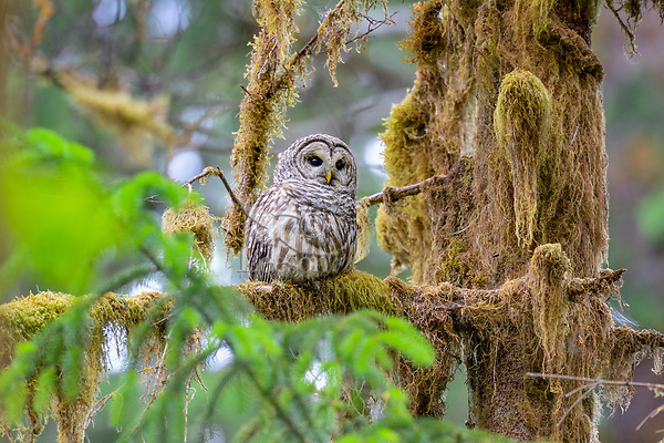 Barred Owl (Strix varia) Western Washington.  Summer.  Barred owls have been expanding their range into formerly spotted owl territory (old growth forests) in the Pacific Northwest where the two may hybridize together.