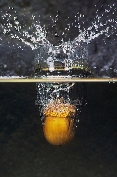 White Oak (Quercus alba), acorn hitting water's surface, Raleigh, Wake County, North Carolina, USA