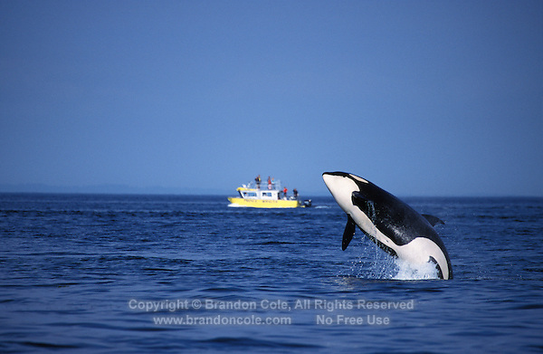 ns7. Orca (Orcinus orca) breaching near whale-watching tour boat. British Columbia, Canada, Pacific Ocean. .Photo Copyright © Brandon Cole. All rights reserved worldwide.  www.brandoncole.com..This photo is NOT free. It is NOT in the public domain. This photo is a Copyrighted Work, registered with the US Copyright Office. .Rights to reproduction of photograph granted only upon payment in full of agreed upon licensing fee. Any use of this photo prior to such payment is an infringement of copyright and punishable by fines up to  $150,000 USD...Brandon Cole.MARINE PHOTOGRAPHY.http://www.brandoncole.com.email: brandoncole@msn.com.4917 N. Boeing Rd..Spokane Valley, WA  99206  USA.tel: 509-535-3489