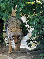 MA27-085z  Eastern Coyote - Canis latrans