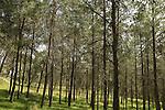 Israel, Shephelah, Pine trees in Tzora forest