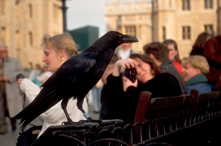 The Ravens of the Tower of London, The City, London, England, Great Britain, United Kingdom, Europe.