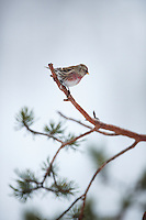 WILD COMMON REDPOLL; Carduelis flammea; KOROUMA; POSIO; FINLAND 2009; EUROPE; WINTER; BIRD PHOTOGRAPHY; PHOTO HIDE