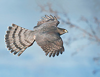 Adult Cooper's hawk in flight showing a topside view of its spread wings and tail