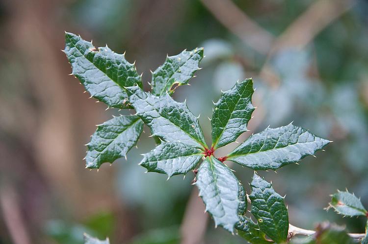 Evergreen shrub berberis calliantha, early FEbruary.