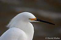 0201-08ss  Snowy Egret, Egretta thula © David Kuhn/Dwight Kuhn Photography