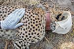 Cheetah (Acinonyx jubatus) twenty-one month old sub-adult female being collared by veterinarian Kambwiri Banda, Kafue National Park, Zambia