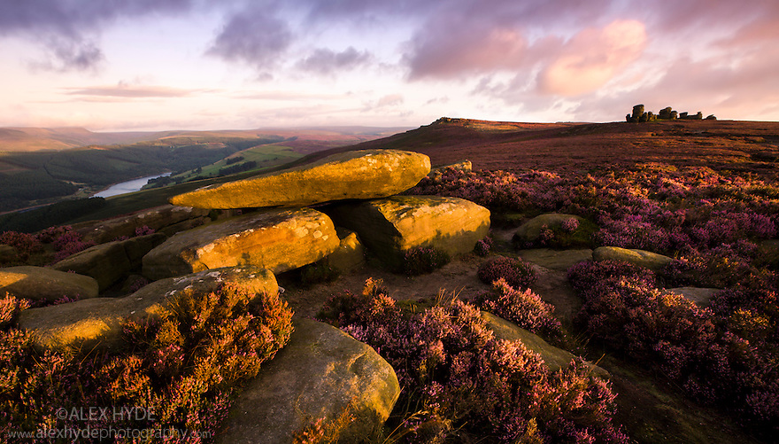 Derwent Edge at dawn, showing heather in bloom. The Wheel Stones can be seen to the right. Peak District NP, September.