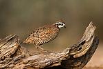 Galliform Birds