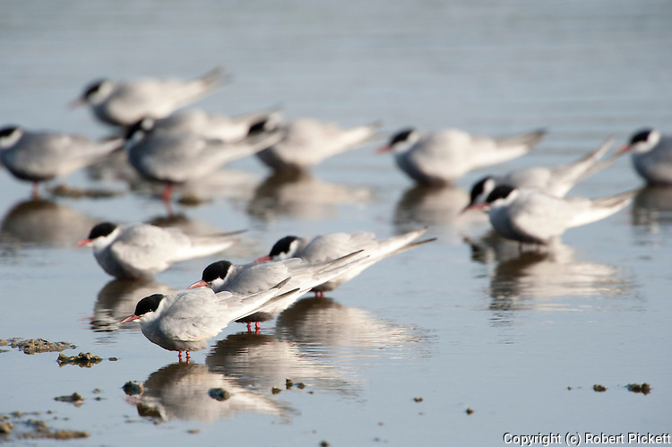 Whiskered Tern, Chlidonias hybridus, Lesvos Island, Greece, Kalloni Salt Pans, group resting in water , lesbos