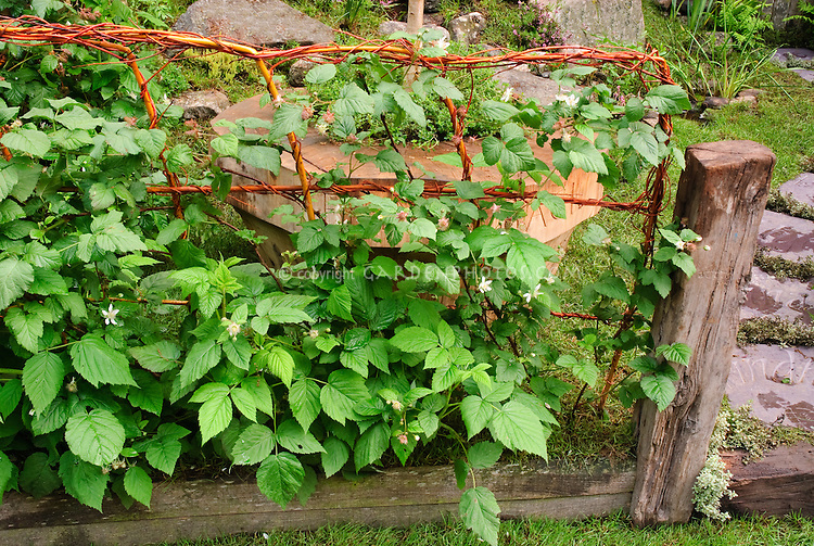 Fruit bushes on fence trellis, berries, raspberries, berry growing