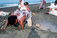 olive ridley sea turtle, Lepidochelys olivacea, lays eggs while villagers collect eggs in legal, controlled harvest during arribada, Playa Ostional, Costa Rica, Pacific Ocean