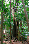 Strangler Fig, Mt Warning National Park