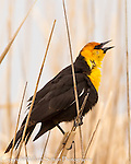 Yellow-headed blackbird, Malhuer National Wildlife Refuge, Oregon