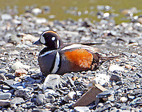 Male harlequin duck resting at Savage River in June