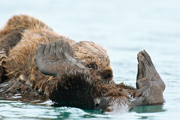 Sea Otter (Enhydra lutris) pup nursing while resting on mom's stomach.