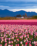 Skagit County, WA   <br /> Evening light illuminates a field of pink tulips with storm clouds over the Cascade Range.