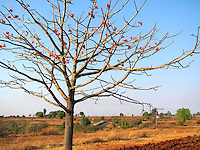 A lonely Palash tree with leafless branches and abundant pink flowers standing in the middle of a village farm in afternoon