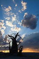 Big Baobab Silhouette