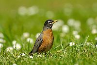 American Robin (Turdus migratorius) in springtime.  Pacific Northwest.